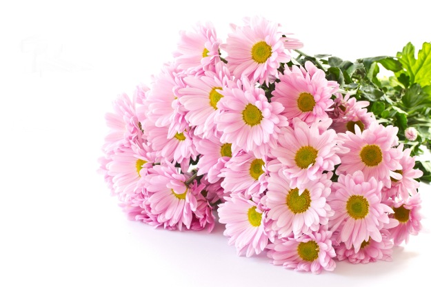 Bouquets Chrysanthemums Pink Color White - 1zoom
